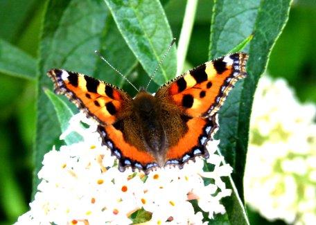 butterflies 009