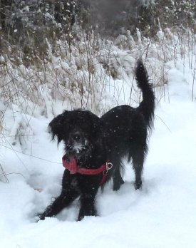 snow dog 1031