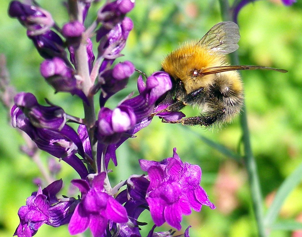 Bee on the purple loosestrife
