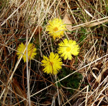 Coltsfoot in flower