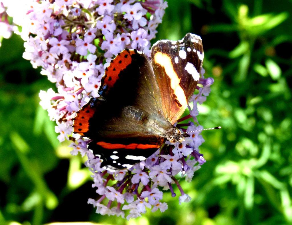 butterflies 007