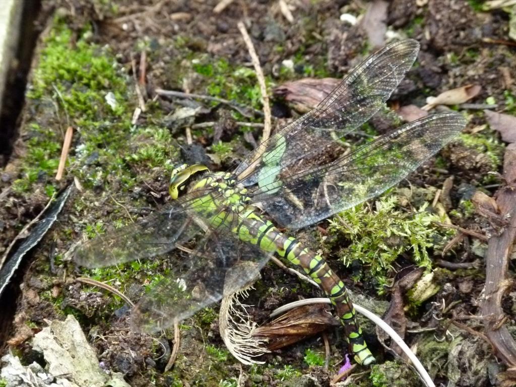 dragonfly 033