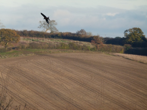 november hawk orc 061