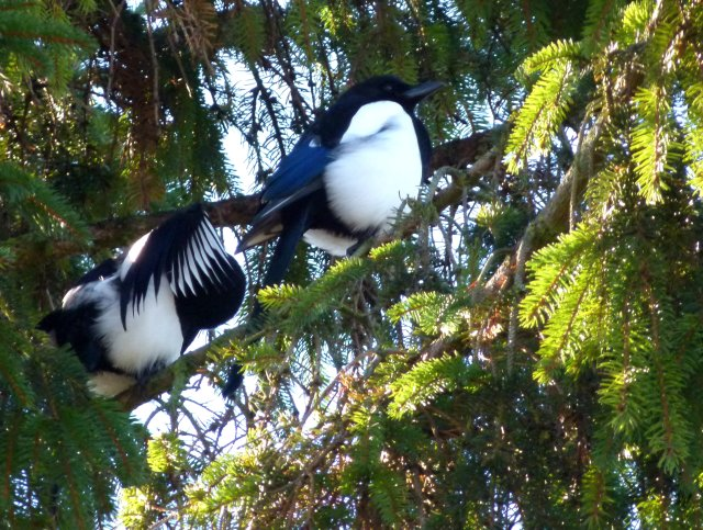 magpies 023