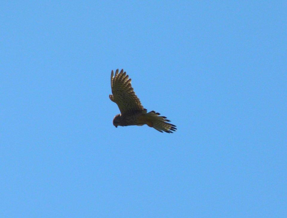 hawk (1)
