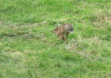 hare 485