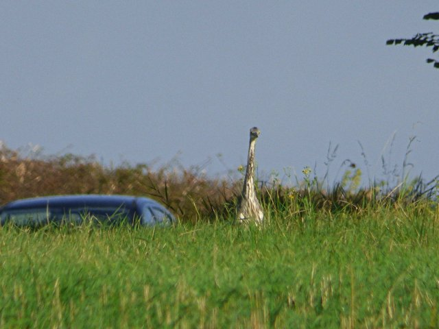 An ostrich in Buckinghamshire?