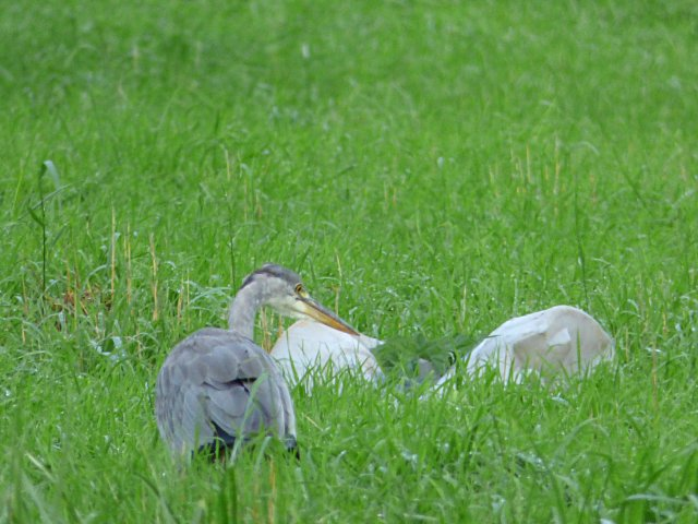 ...or a scavenging heron...
