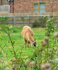 random llama, abbots bromley