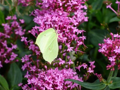 butterflies 003