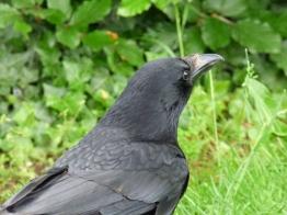 fast food raven (1)
