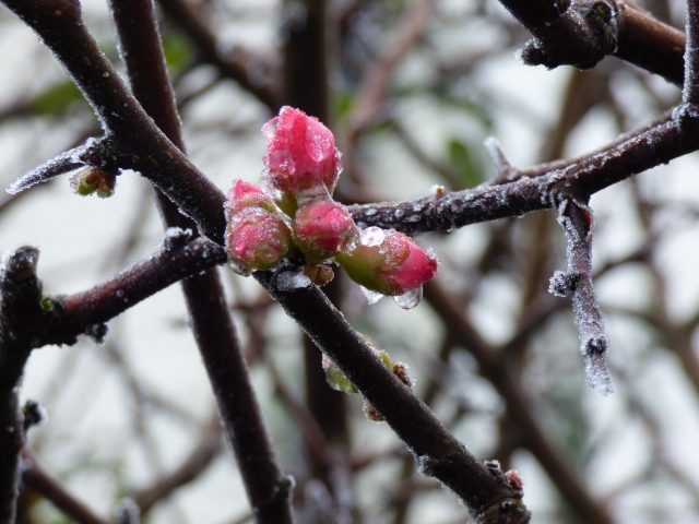 japonese quince buds in ice