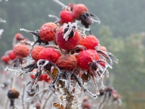 red rosehips in frost