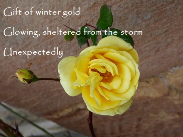Gift of winter gold Glowing sheltered from the storm Unexpectedly