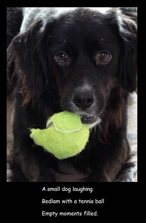 A small dog laughing Bedlam with a tennis ball Empty moments filled.
