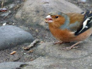 Friendly chaffinch…