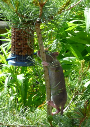 bald tailed squirrel 023