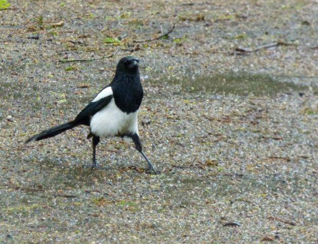 magpie strutting