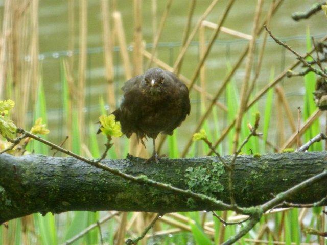 wet thrush
