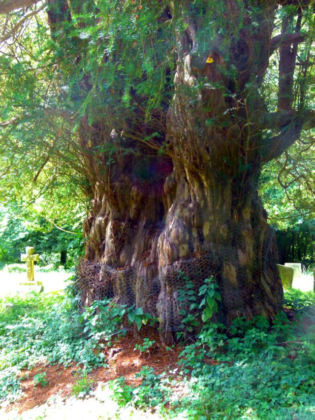 The Ibstone Yew