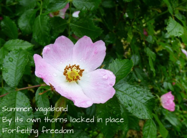 Summer vagabond By its own thorns locked in place Forfeiting freedom