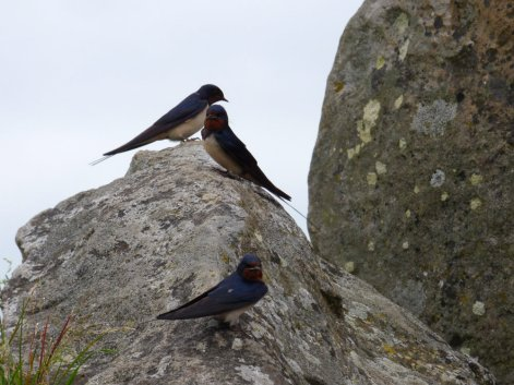 three swallows perched on stone