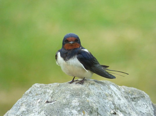 swallow on stone