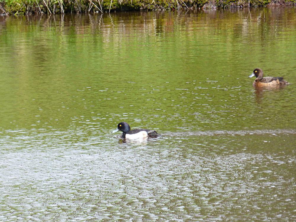 barbrook ducks