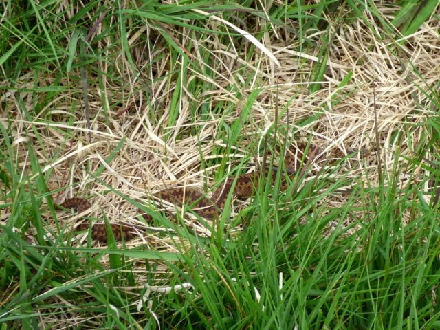 snake adder barbrook  merlin stone beeley derbyshire  (10)