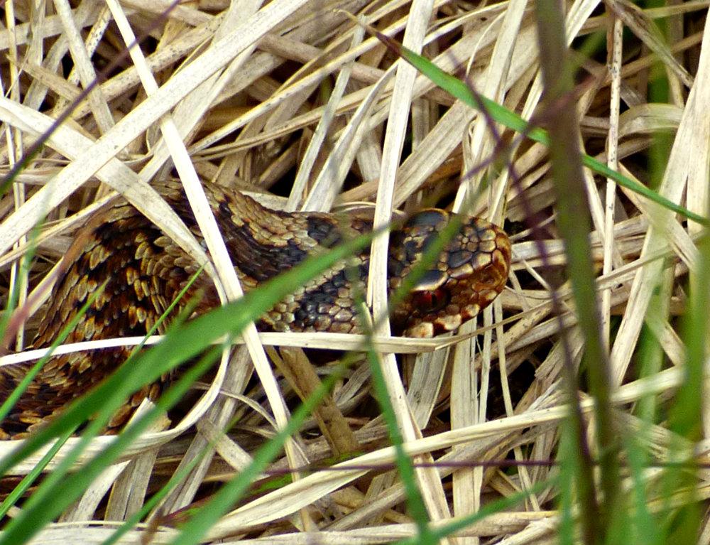 snake adder barbrook merlin stone beeley derbyshire (9)