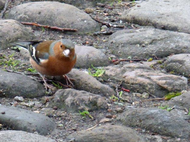 chaffinch chester (1)
