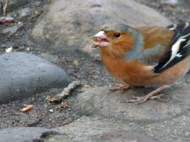 chaffinch chester (2)