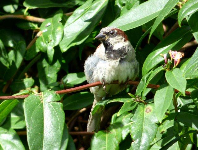 sparrows 010
