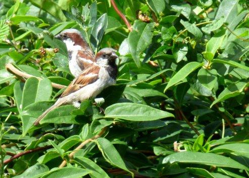 sparrows 011