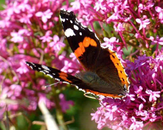 butterflies 023