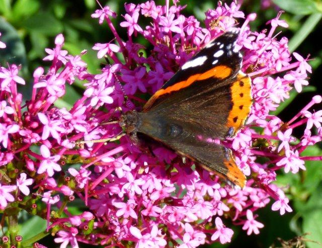 butterflies 035