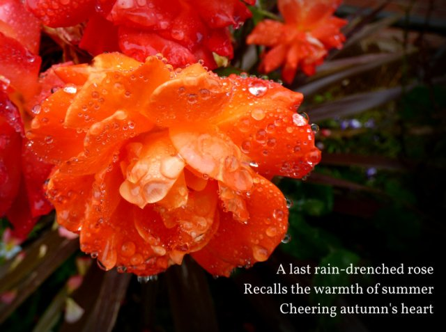 A last rain-drenched rose Recalls the warmth of summer Cheering autumn's heart