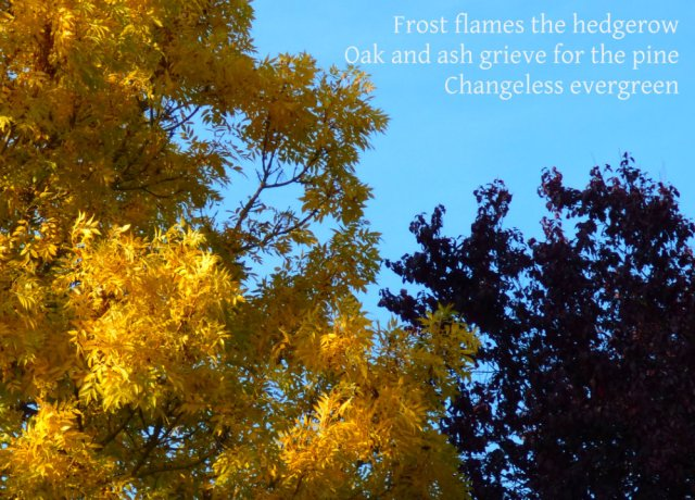 Frost flames the hedgerow Oak and ash grieve for the pine Changeless evergreen