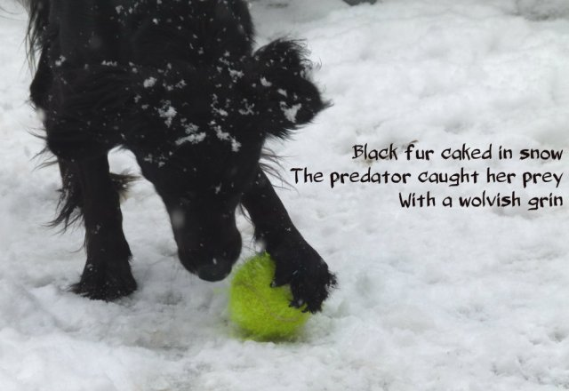 Black fur caked in snow The predator caught her prey With a wolvish grin