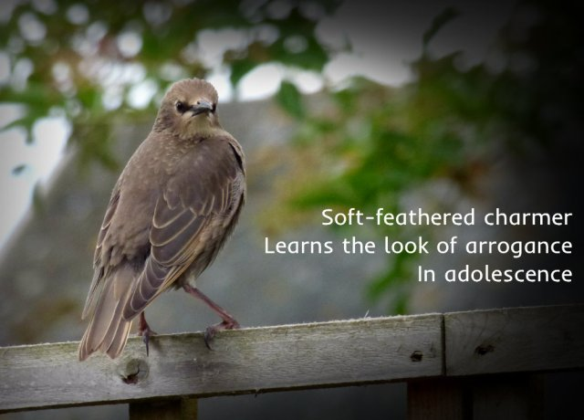 Soft-feathered charmer Learns the look of arrogance In adolescence