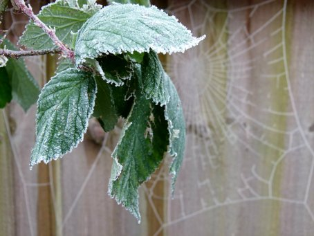 frost leaves (1)