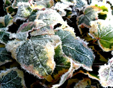 frost leaves (3)