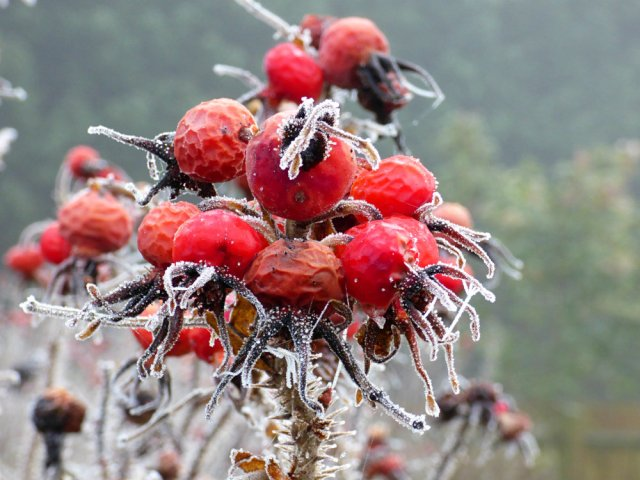 frost leaves (5)