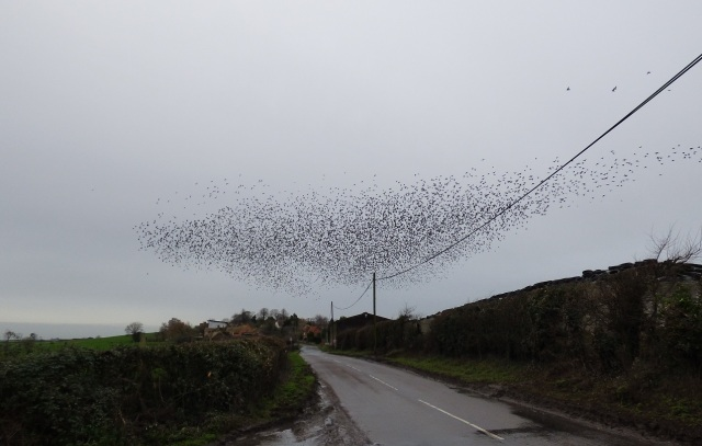 murmumration of starlings new year2015 026