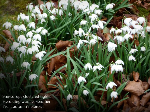 Snowdrops clustered tight Heralding warmer weather From autumn's blanket