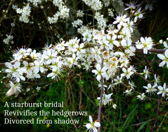 A starburst bridal Revivifies the hedgerows Divorced from shadow