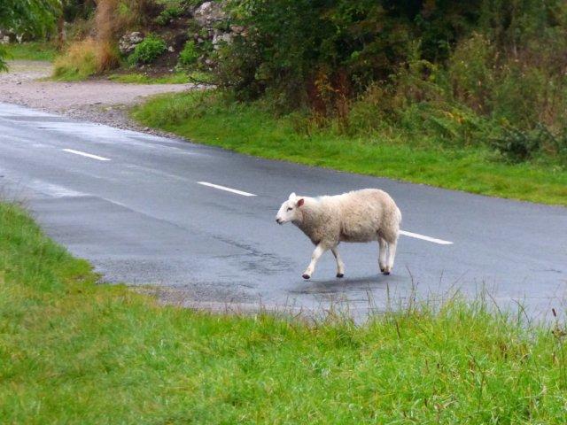 sheep Yorkshire