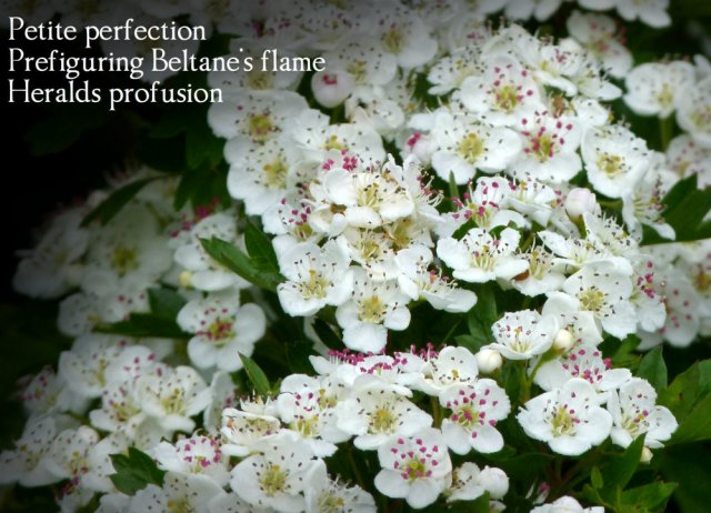 Petite perfection Prefiguring Beltane's flame Heralds profusion