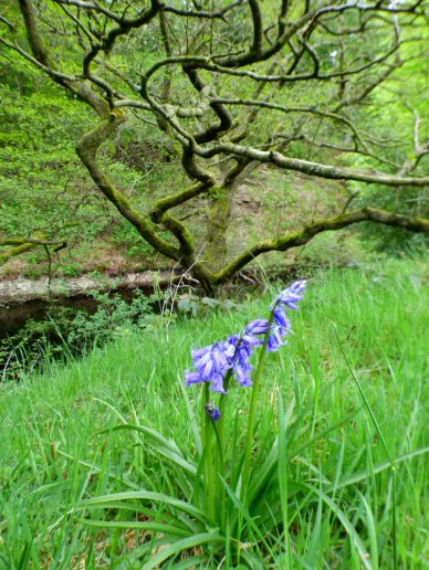 derbyshire ladybower bluebells water dambusters barbrook 3 wildflowers 001 (216)