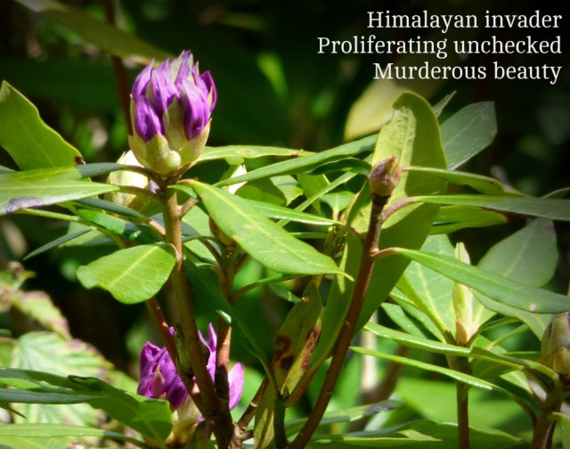 Himalayan invader Proliferating unchecked Murderous beauty